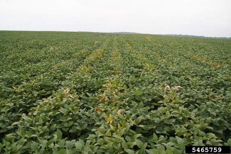 Sudden death syndrome show up on earlier-planted soybeans