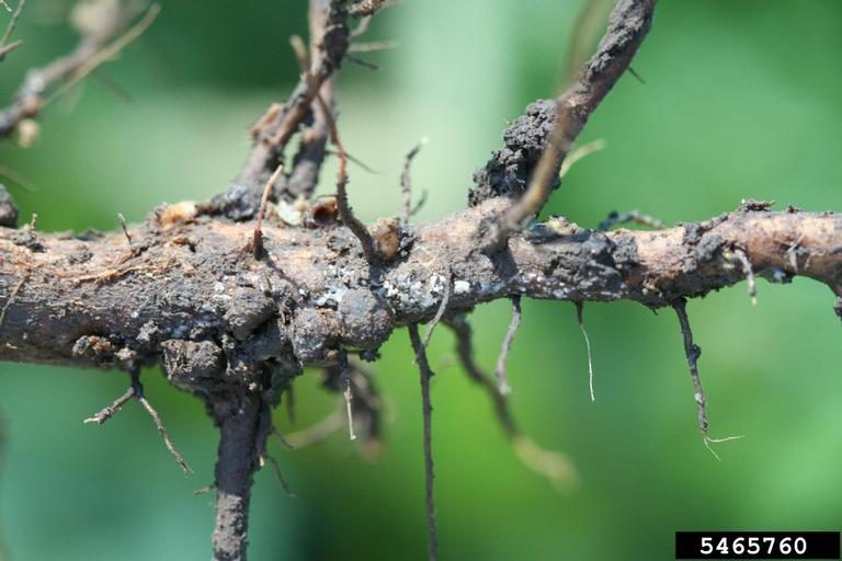 SDS infect roots